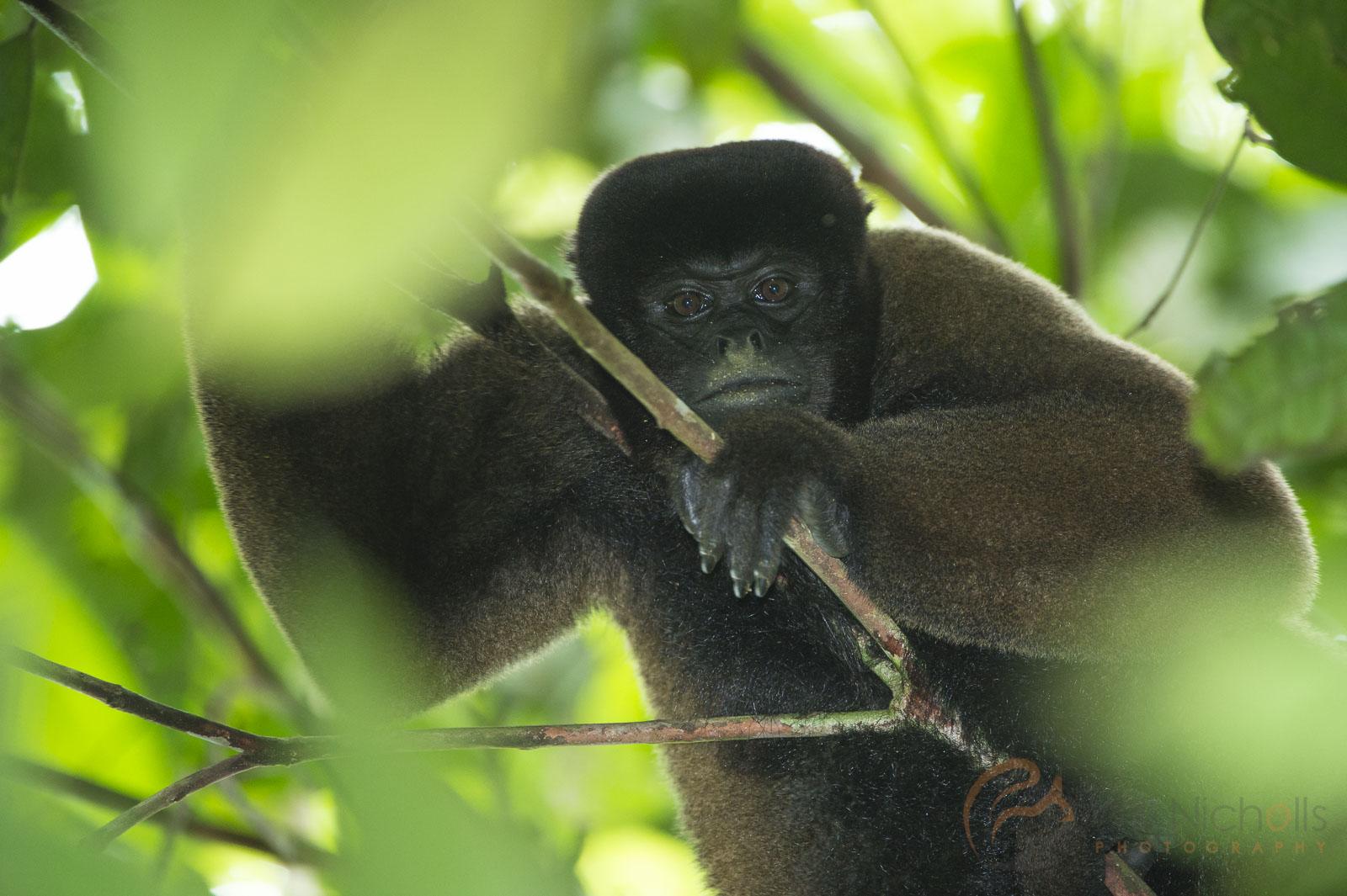 woolly monkey manu peru