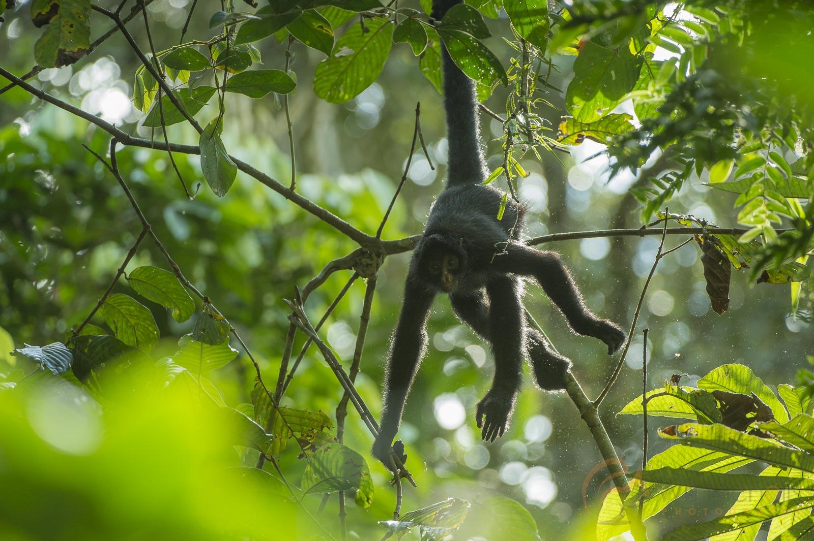 peruvian spider monkey