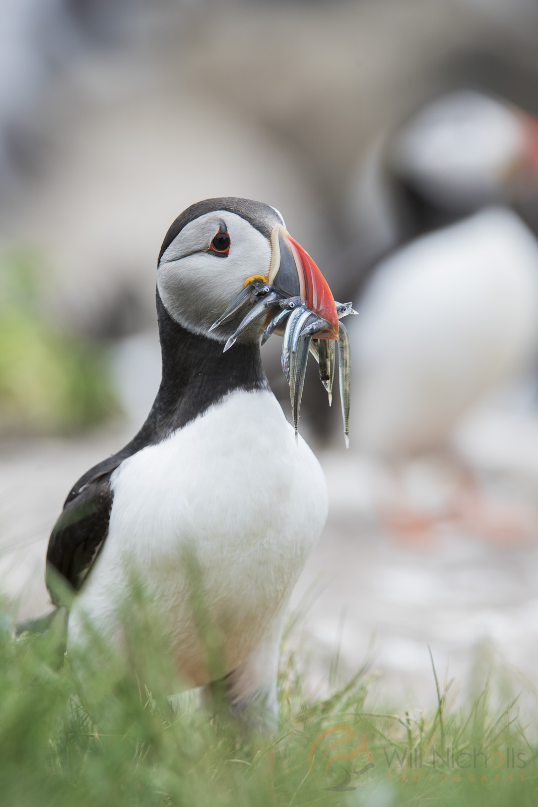 photographing puffins in the uk