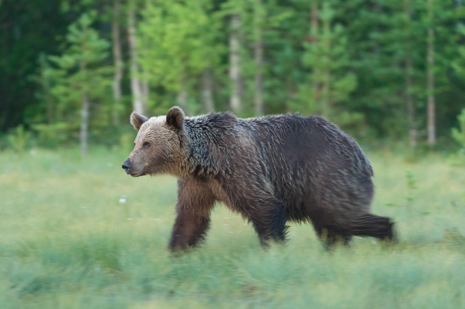 panning wildlife blur