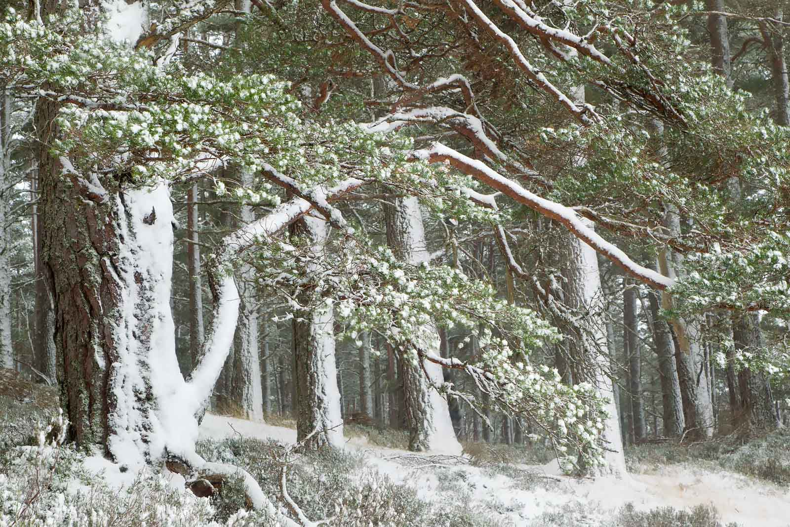Scot's pine woodland in winter, Abernethy Forest, Cairngorms National Park, Scotland, UK