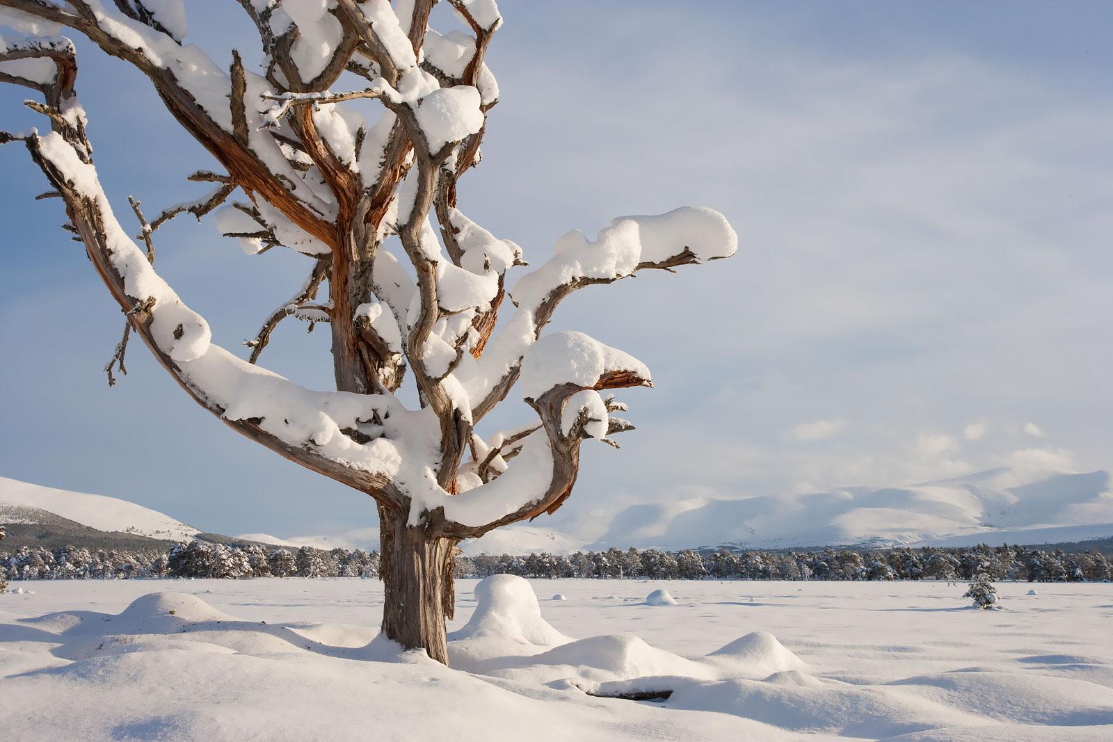 Dead Scot's pine (Pinus sylvestris) in winter, Cairngorms National Park, Scotland, January 2010