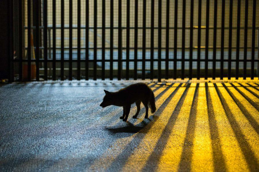 urban fox photography
