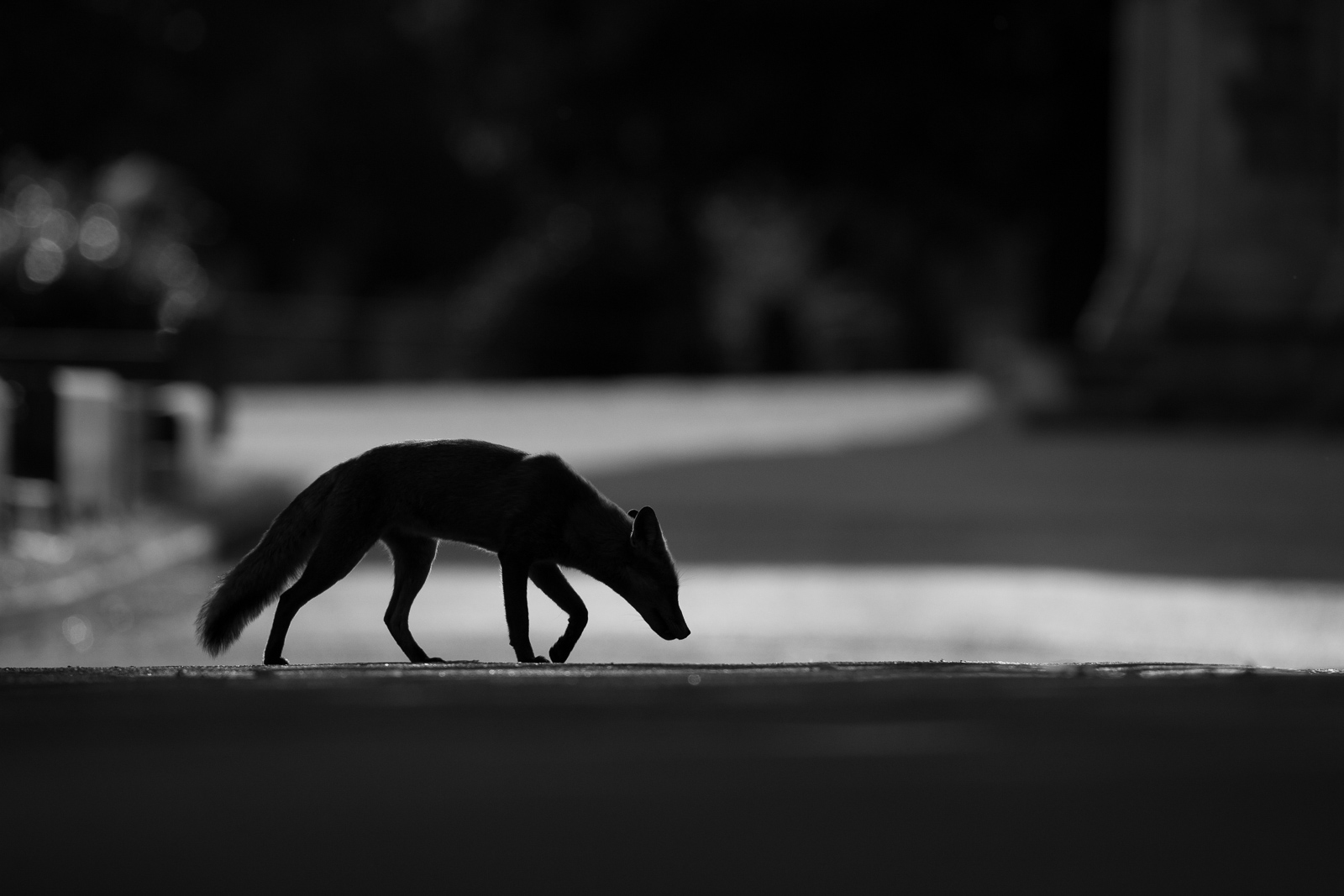 how to photograph urban foxes