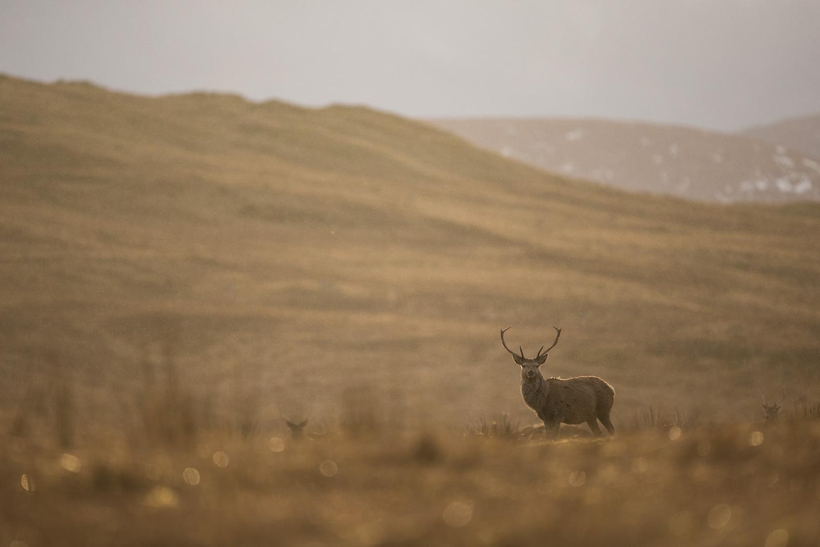 Sigma 500mm f/4 DG OS HSM Sport Lens - Sample image of red deer.