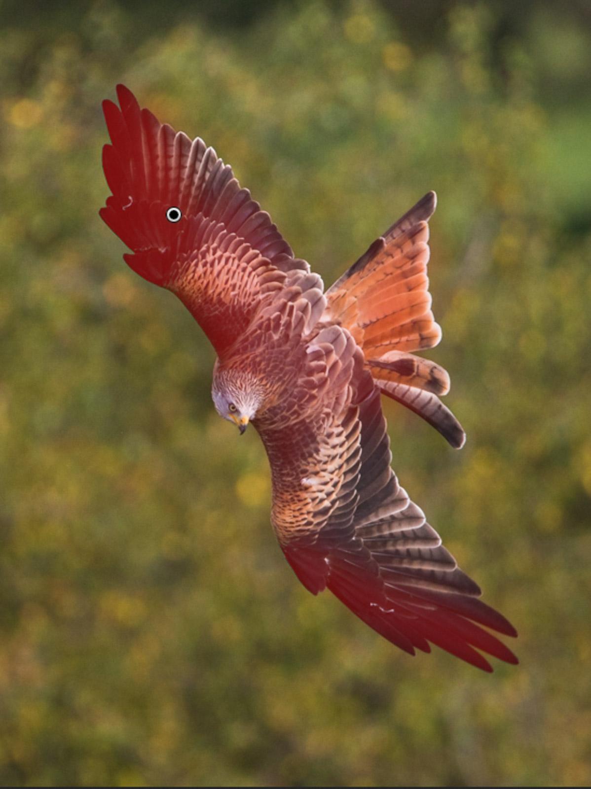 red kite lightroom auto-mask example