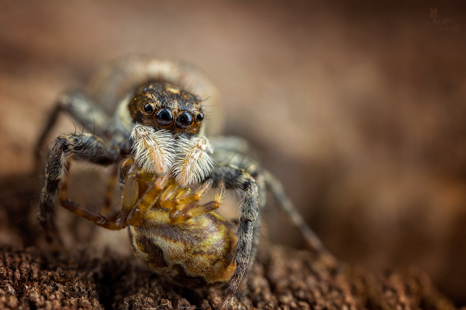 jumping spider how to photograph macro