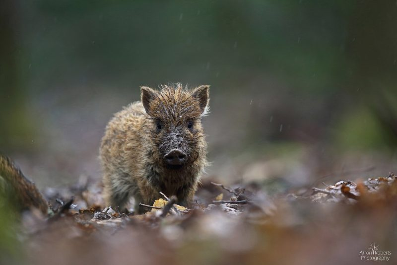 How to photograph wild boar in the forest of dean
