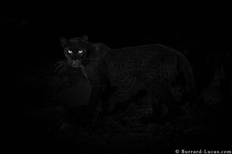 black leopard kenya