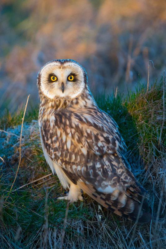 photograph short-eared owls