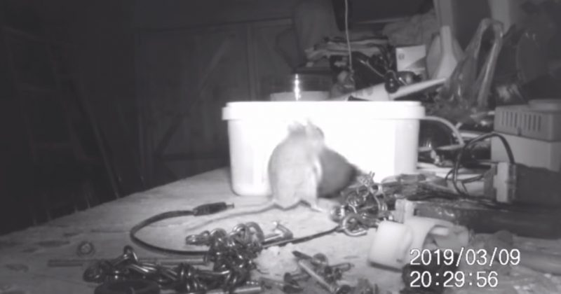 6f98852be6f The video shows the mouse even attempting to lift objects well beyond its  size, in a determined effort to tidy the shed.