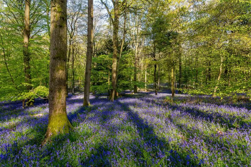 how-to-photograph-bluebells