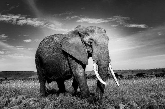 black-and-white-wildlife-photography