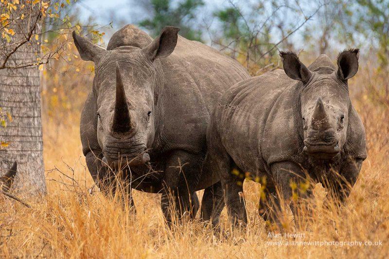 Botswana rhino, safari