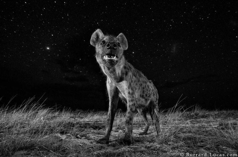 hyena under stars