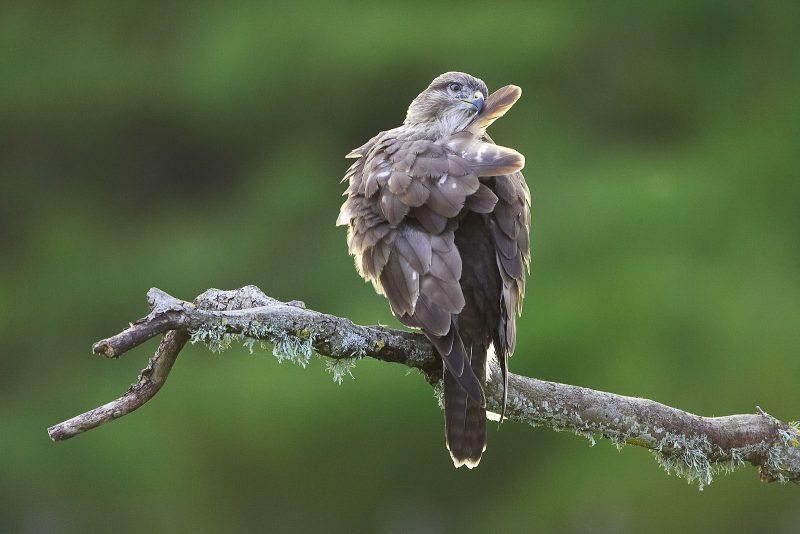 photograph birds of prey