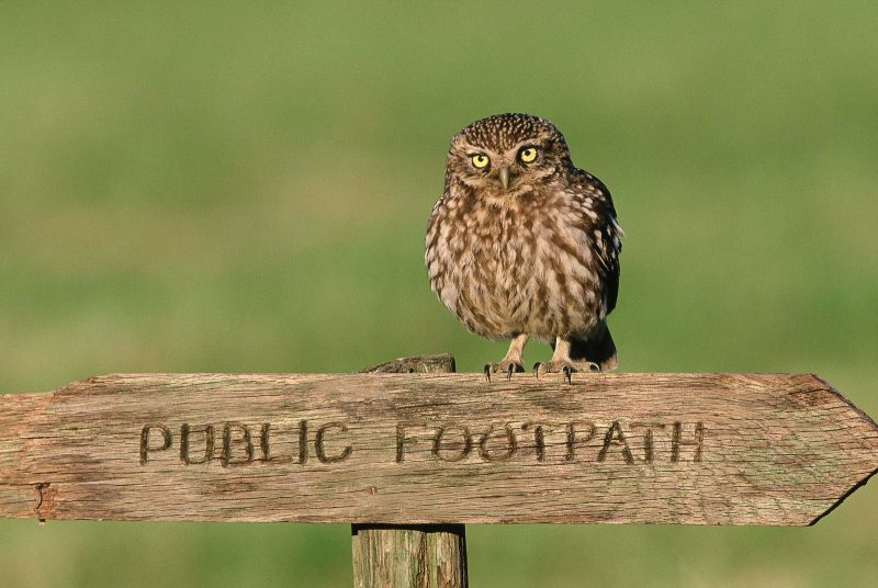 Little owl on post, birds of prey