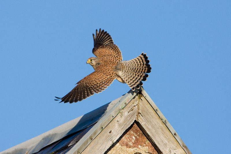 Kestrel, birds of prey