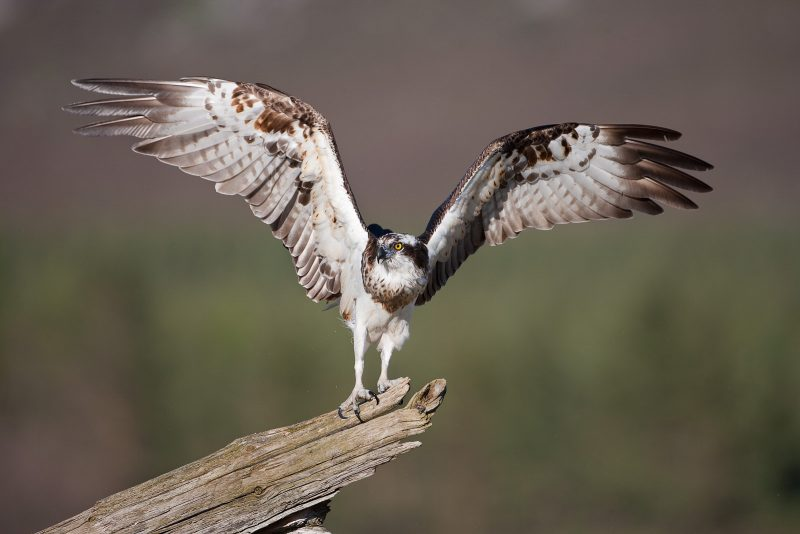 Osprey spreading wings