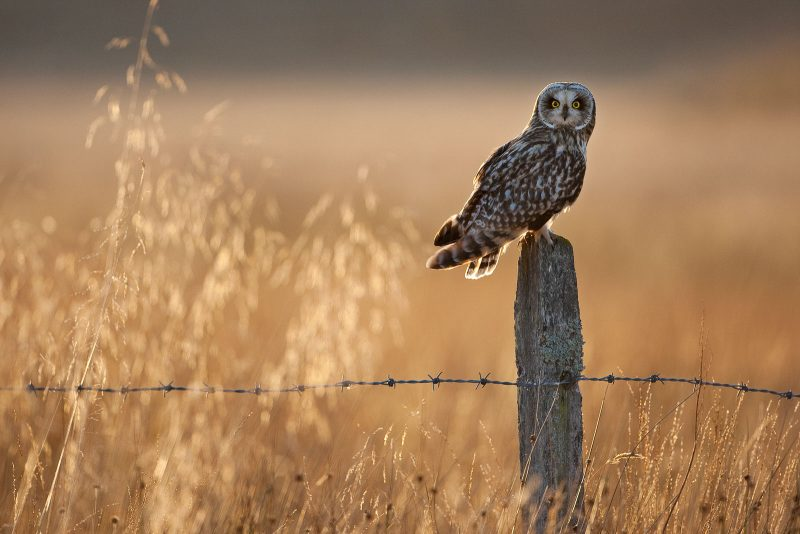 Birds of prey, short-eared owl