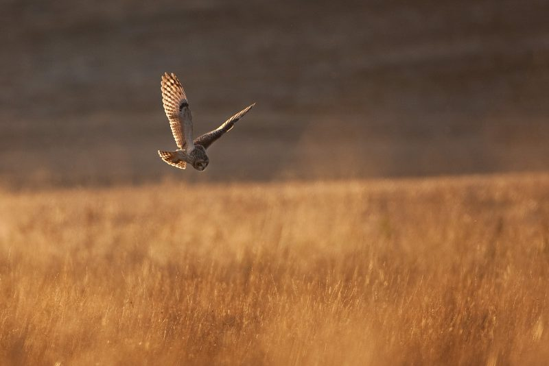 Short-eared owl hunting