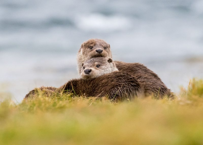 How to Photograph Otters: Locations, Techniques & Fieldcraft