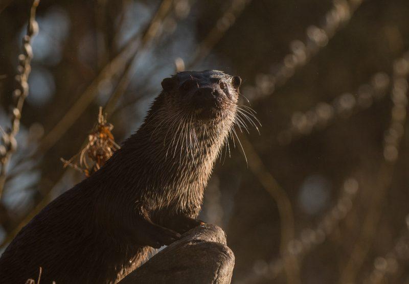 otter at dawn