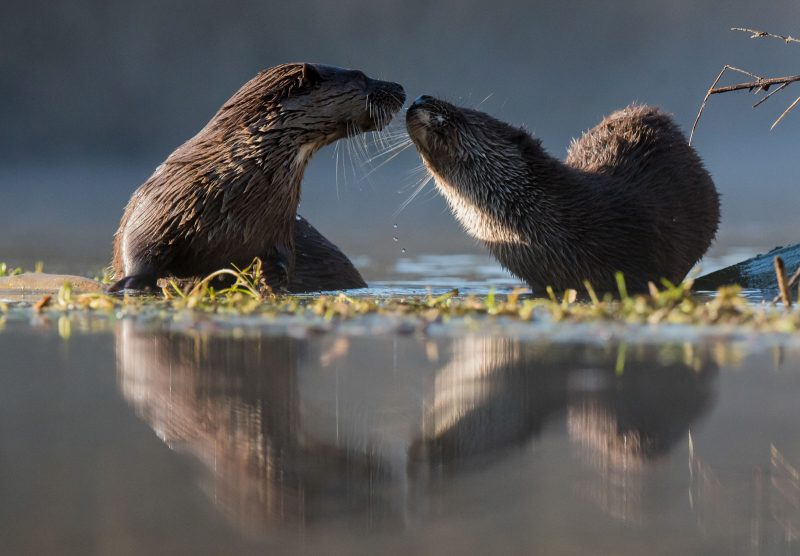 photograph eurasian otters