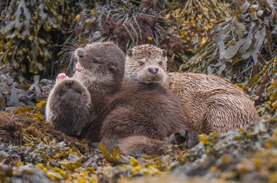 photograph-eurasian-otters