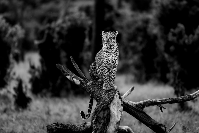 Leopard Black and White Edit