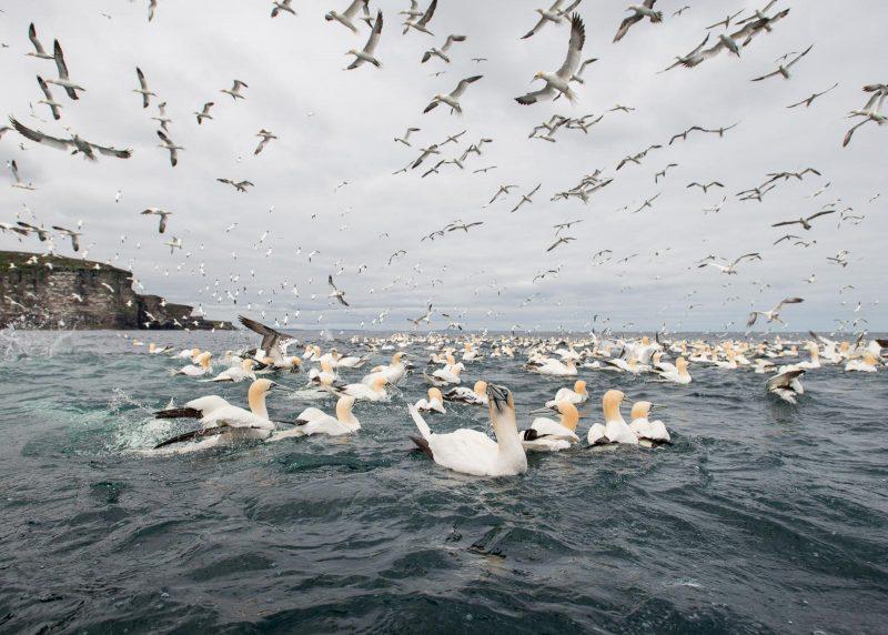 Gannets feeding in the sea