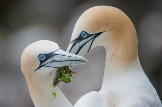 how to photograph gannets-3
