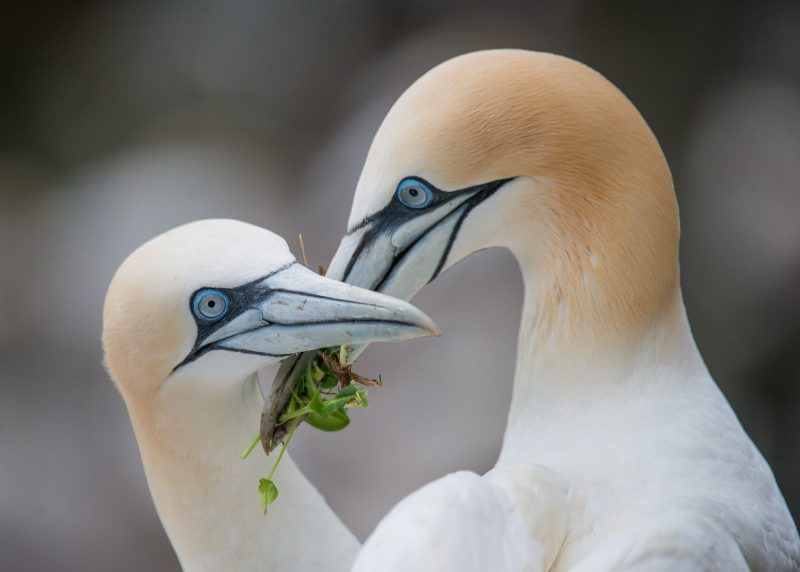 Gannet pair with nest material