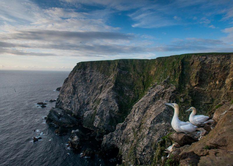 Gannet colony. Hermaness, Shetland