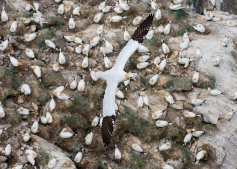 Gannet flying over the colony of nesting birds.