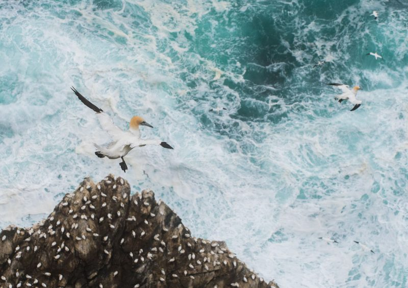Gannet hovering in the wind above the rough sea.