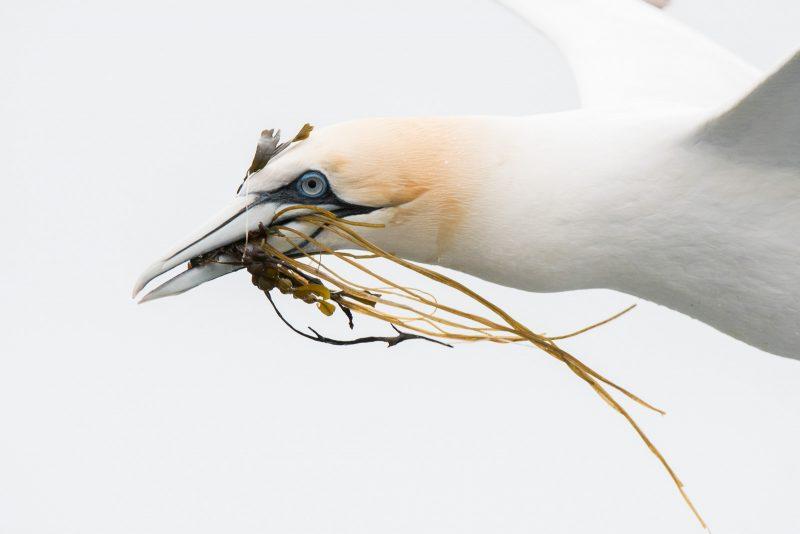 Flying gannet with seaweed in beak