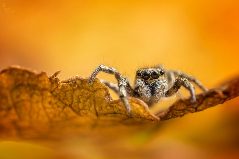 jumping spider macro composition