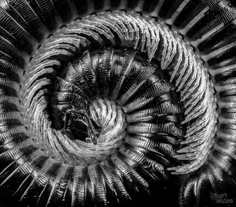 centipede black and white