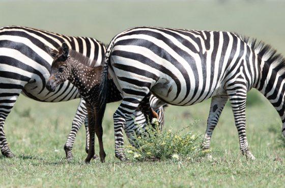 frank liu spotted zebra-3