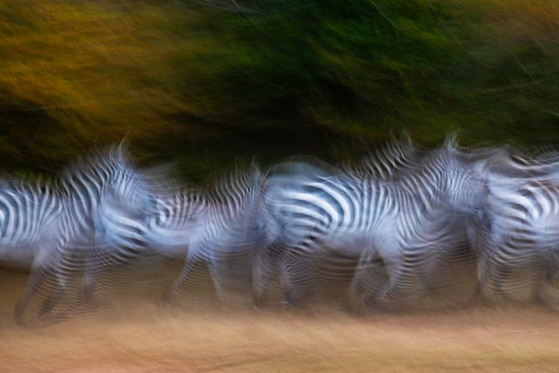 zebras slow shutterspeed