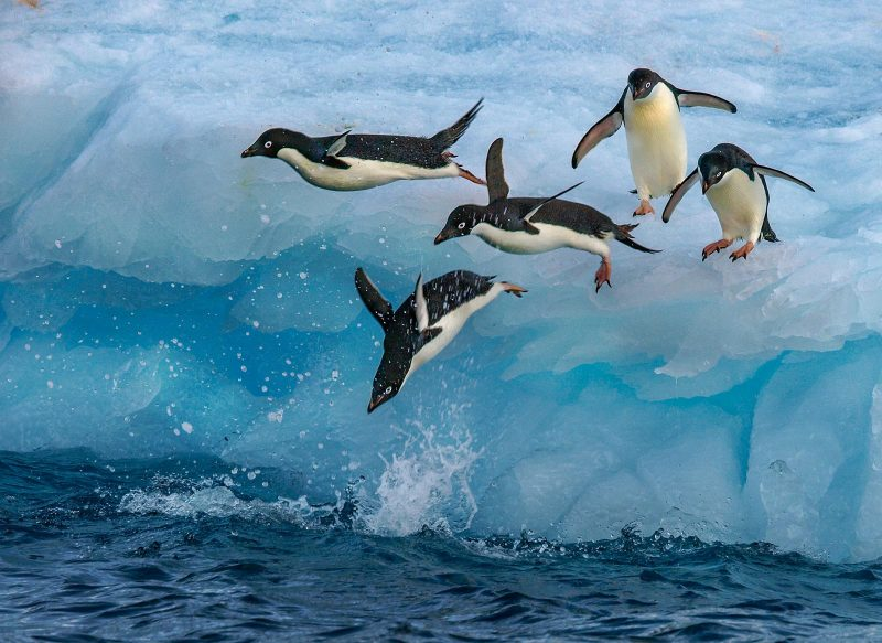 penguins jumping off an iceberg