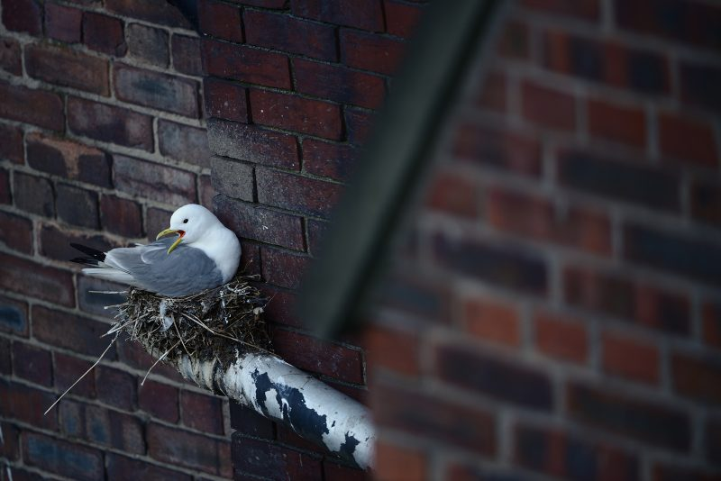 urban wildlife photo of a kittiwake nesting on a building