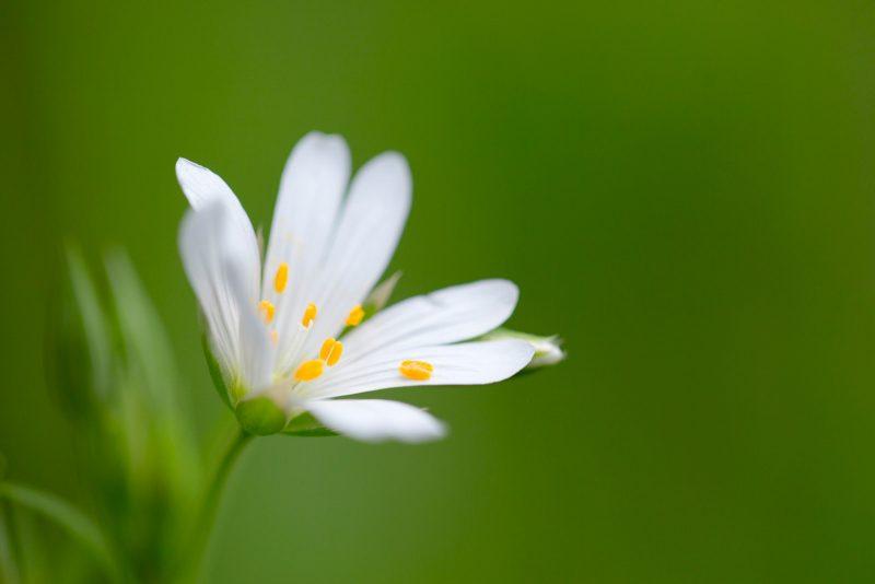 stitchwort flower