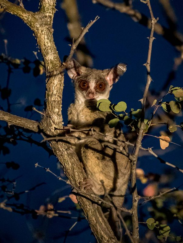 A bush baby photographed during a night safari in africa