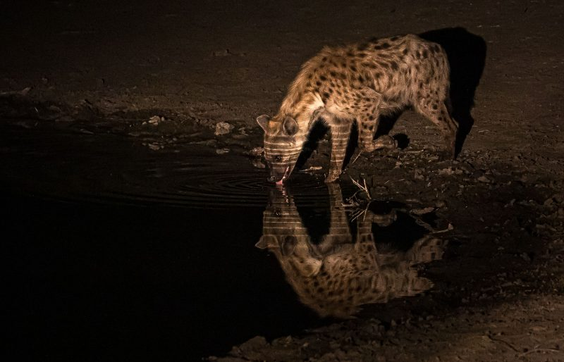 A drinking hyena photographed on a night safari in africa