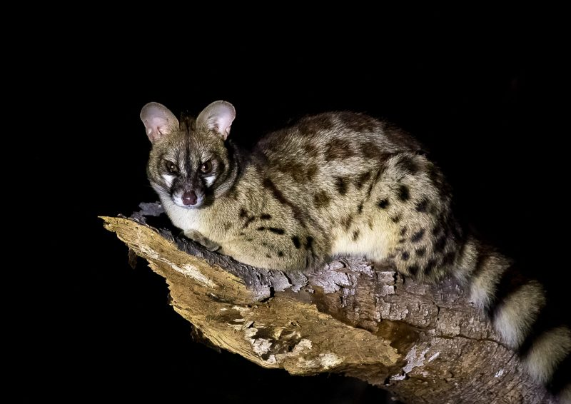 A civet photographed on a Wildlife Night Safari in Africa