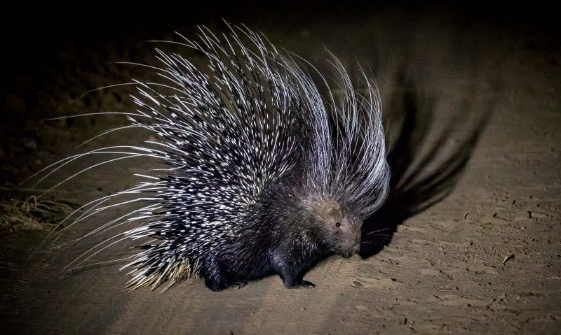A porcupine photographed on a night safari in africa