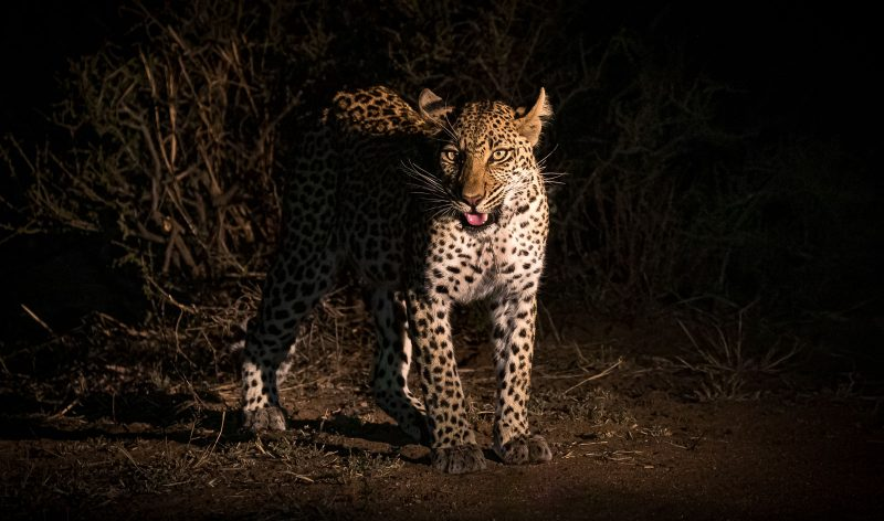 A leopard photographed on a night safari in africa