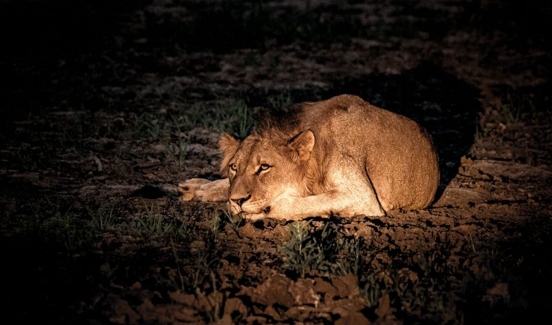 Resting lion photographed on a night safari in africa